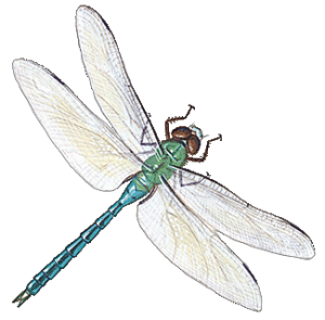 dragonfly-info0-1